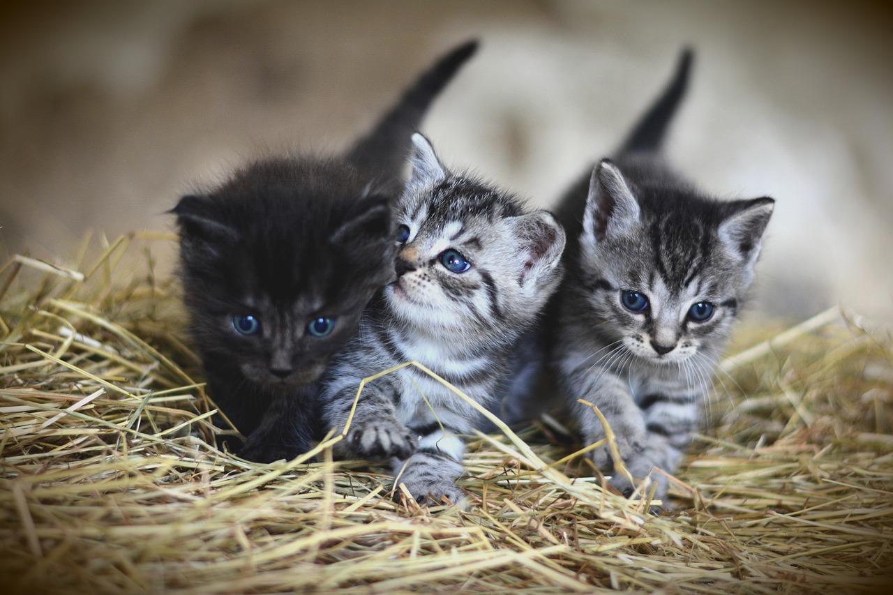子猫3匹が写っている